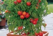plantar frutas em vasos