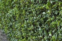 immergrüne hecke