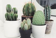 Kaktuser