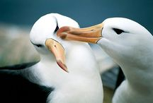 Albatross / Hi everybody! I want to show my love for albatrosses by sharing pictures of these majestic creatures!