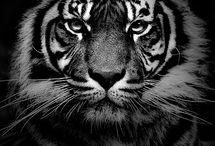 Tiger, tiger burning bright.