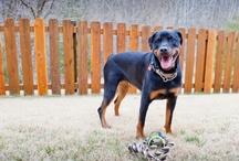 Rottweiler Puppy Pics / Photos Taken By Natasha McGuire