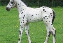 Knabstrupper Foals