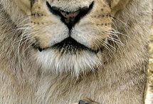 leeuwen, tijgers