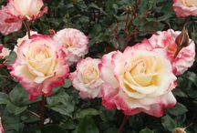 Roses: soft colours
