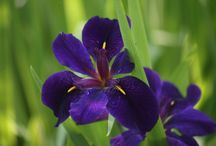 Perennials for wet places