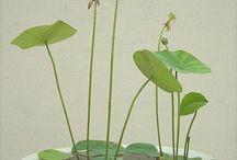 Lotus i skål