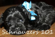 Sold Schnauzer Puppies / These are some of our sold Schnauzer Puppies#