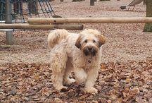 Tibet Terrier / Fotos von meinem Tibet Terrier Gino