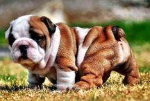 Bulldog Pup!