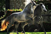 andalusian PRE