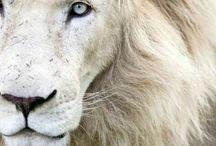 Weite Lion