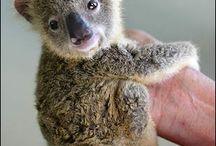 Koala Bears♥ / by Ali Bailey
