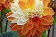 Dahlias / All things Dahlia