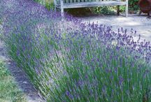 Provence and lavender