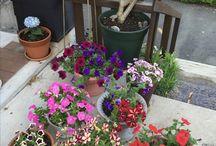 ペチュニア / 沢山の色んな種類や色を集めて植えてます