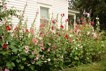 Visiting the Hollyhocks  The Necessary
