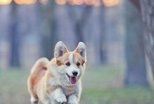 ♡ Welsh Corgi ♥