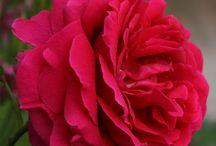The Roses in my garden... / Die Rosen in meinem Garten...