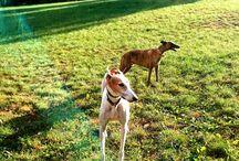 dog, greyhounds