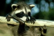 Raccoon ♥