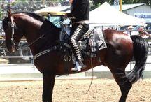 L'Aztèque / L'Aztèque fut d'abord développé à Mexico en 1972 sous l'égide d'Antonio Ariza Canadilla à l'usage des « charros », les cavaliers traditionnels de Mexico. La race fut officiellement reconnue en 1982. Elle est née à partir des croisements de l'Andalou, du Quarter Horse et du Criollo.