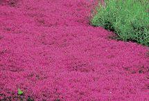 Thyme as grass
