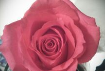 Roses / The beauty of roses. A reflection of love in a rose is captivating.