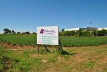 Terreni di patate DELIZIA BLU - Giugno 2014 - / Terreni di patate DELIZIA BLU, Grotte di Castro (VT), in fiore. SPETTACOLARI e UNICI in tutta ITALIA!!!!