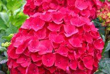 Hydrangea (hortenzia)