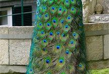 Pretty, Pretty Peacocks!