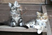 """North Сape"" cattery / About NFO (Norwegian Forest Cats)"