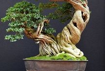 Bonsai tre og lign