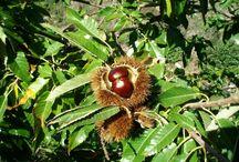 Chestnut – Chestnut, The Sweet Taste Of Autumn