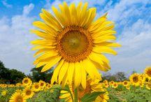 """Tournesols / Sunflowers / """"Quand l'idéal se déplace, il faut bien qu'on s'oriente différemment. Le tournesol reste fidèle au soleil."""" Jean Rostand"""