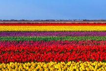 Moja Holandia tulipany wiatraki rowery