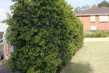 Garden- Native Australian plants / Plants I dream about in my ideal native Australian garden and tips to keep them healthy.