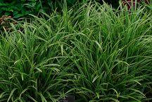 grassen/schaduw/evergreen