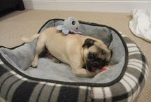Pugs and Toys