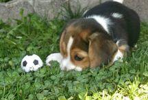 Beagle les plus mignon
