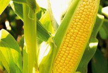 Maisy's maïsvelden.
