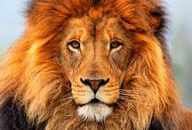 Creative Lions / Explore the awesomeness of the king of the jungle...