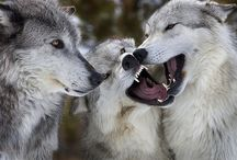 a n i m a l i a ♥ Kyle's wolves