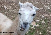 Le Lama / C'est l'histoire d'une rencontre de deux lamas lors d'une visite au Zoo de La Barben... Comme nous y faisons souvent des balades, je le photographie de temps en temps...