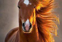 chevaux de race