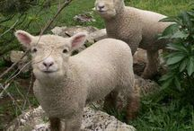 SCHAFE - SHEEP