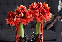 Be inspired by the amazing Amaryllis. / Be #inspired by the #amazing #Amaryllis.  Enjoy your day! RoyalColors.com  #Amaryllis   #Hippeastrum   #royalcolors #Floral #Flower #Bloom #Beautiful #Amazing #bulbs #keukenhof #Netherlands   #амариллис   #アマリリス   #孤挺花   #amarilis  royalcolors.com   #flowers