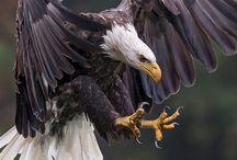 eagle class