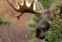 Moose, Bears, Elk, Deer. Nature.  / by Sarah Swan