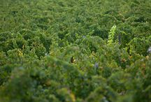 South African Vineyards / Shot for various clients this board shows the detail in the vineyards of South Africa and what goes on inside it.